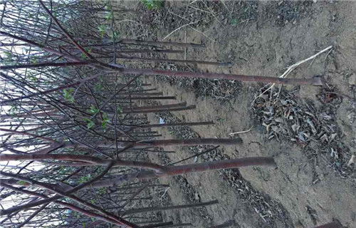 江西M26苹果砧木树苗批发价格