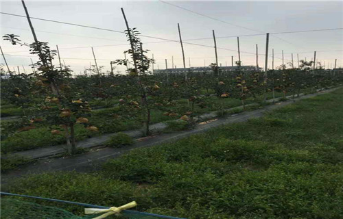 本溪实生苹果树苗9公分