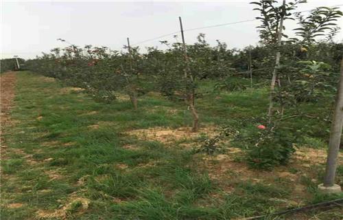本溪天红1号苹果树苗0.9公分
