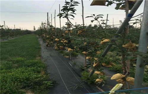 本溪红将军苹果树苗7公分