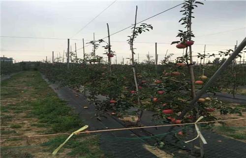 本溪早捷贝拉苹果树苗1.5公分