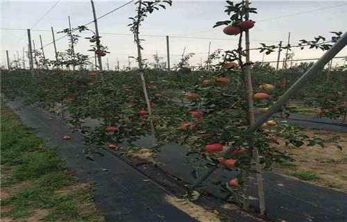 内江甘红苹果树苗一亩地需要多少株