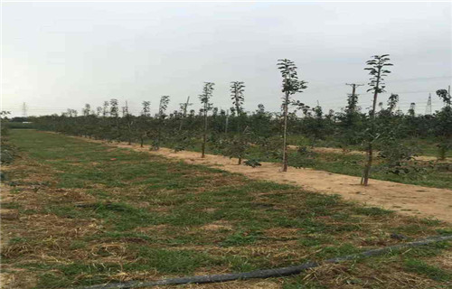 朔州早熟苹果树苗哪里的数量大