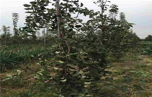 内江信浓甜苹果树苗种植基地