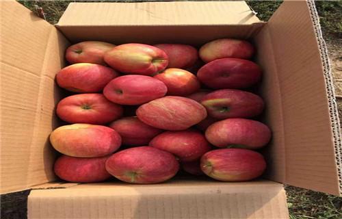山东晚熟苹果树苗多少钱一颗