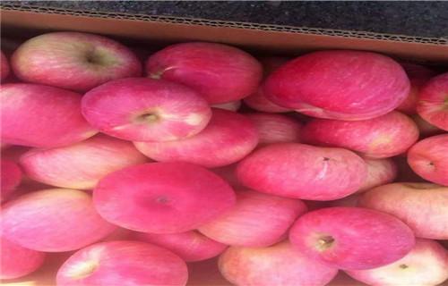 本溪早熟富士王苹果树苗12公分