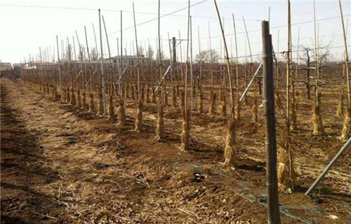 平顶山桑萨苹果树苗品种
