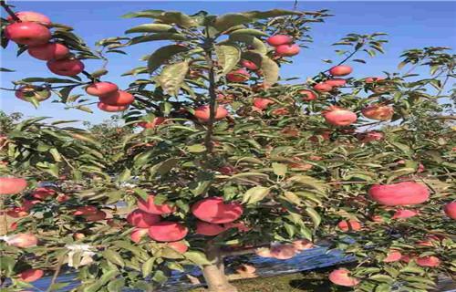鹤壁华美苹果树苗批发