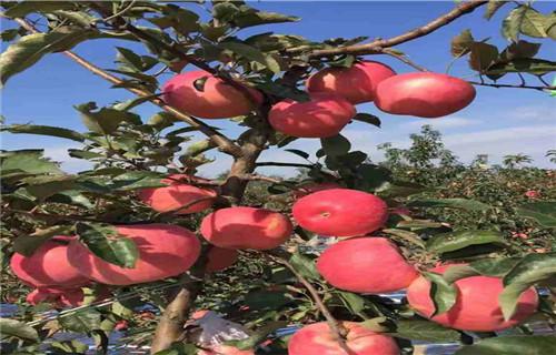 河源长富2苹果树苗