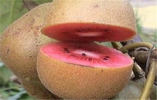 张家界翠香猕猴桃苗种植时间