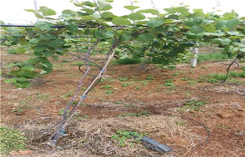 张家界亚特猕猴桃苗生产基地