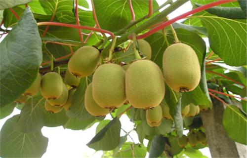 张家界翠香猕猴桃苗种植方法