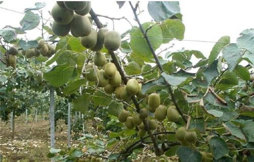 本溪海沃德猕猴桃苗种植时间