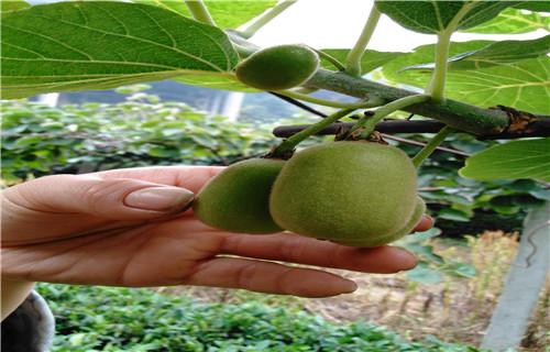 本溪亚特猕猴桃苗哪里的品种纯