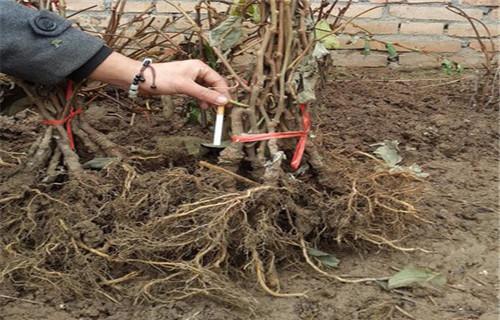 张家界红阳猕猴桃苗品种大全
