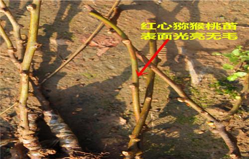 本溪亚特猕猴桃苗生产基地