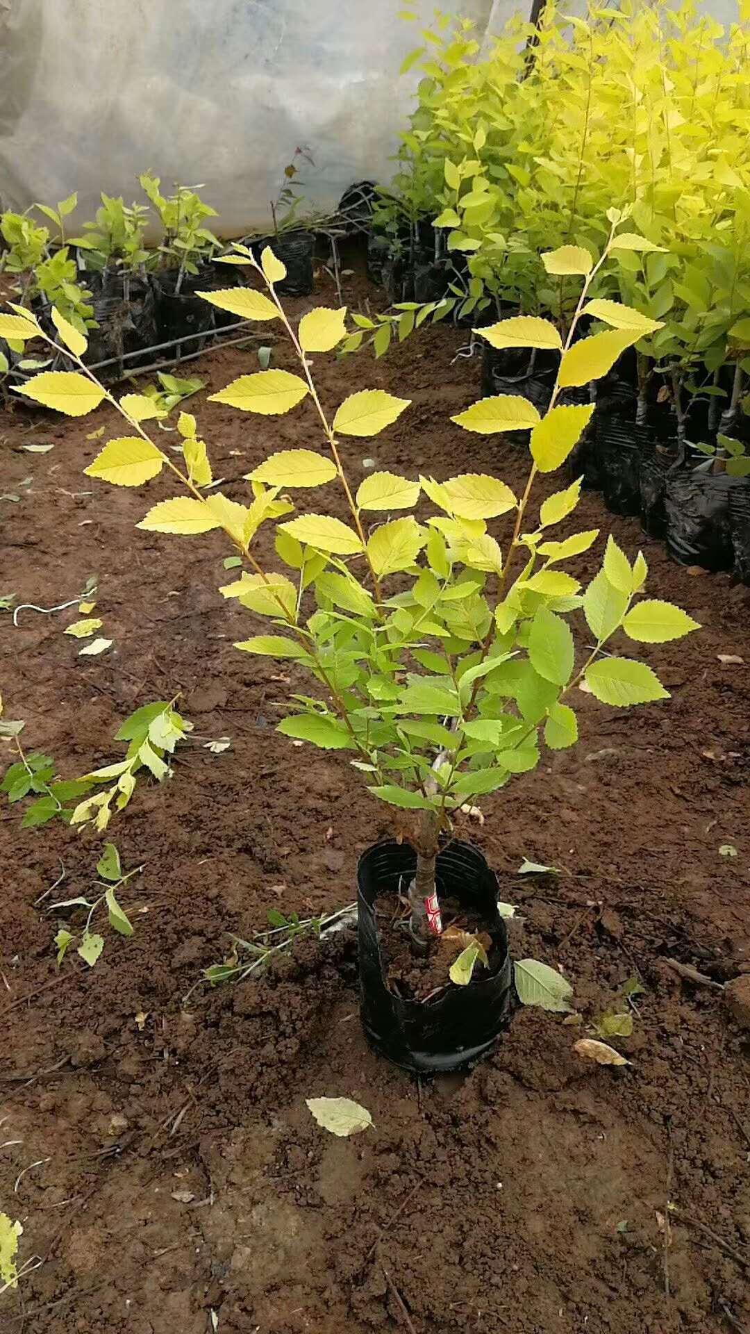 金叶榆造型树金叶榆造型树吕梁