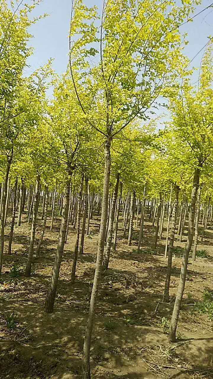 丛生金叶榆哪里卖多少钱一棵日喀则