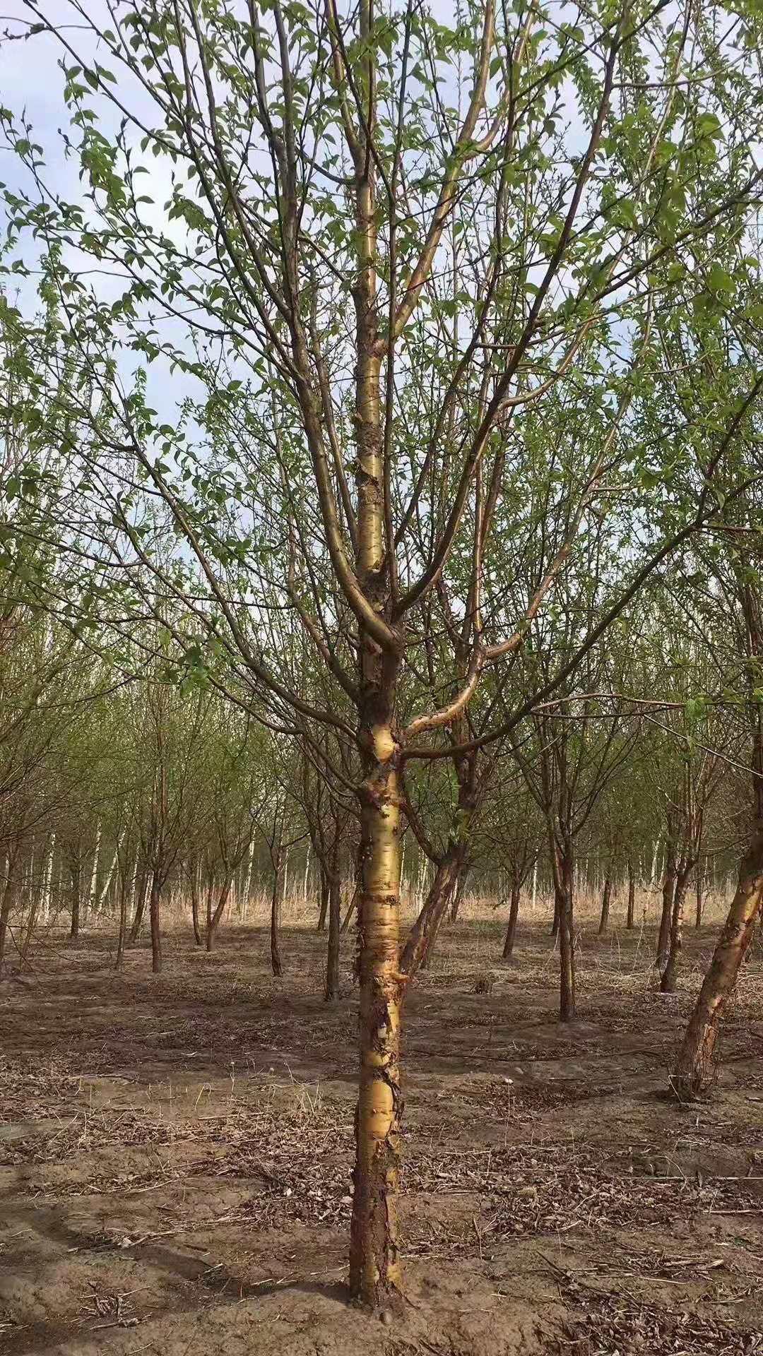 紫叶稠李树-紫叶李各种营养杯绿篱苗德州