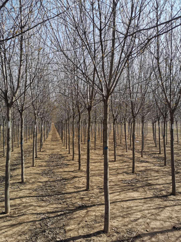 红叶李球-密枝红叶李小苗秋季大量批发绿化苗木泰安