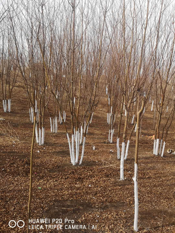 茶条槭小苗-丛生茶条槭秋季大量批发绿化苗木山东