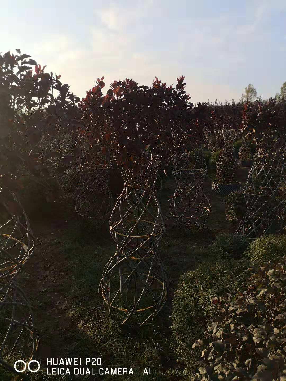 桃叶卫矛小苗-独杆丝棉木球秋季大量批发绿化苗木武威