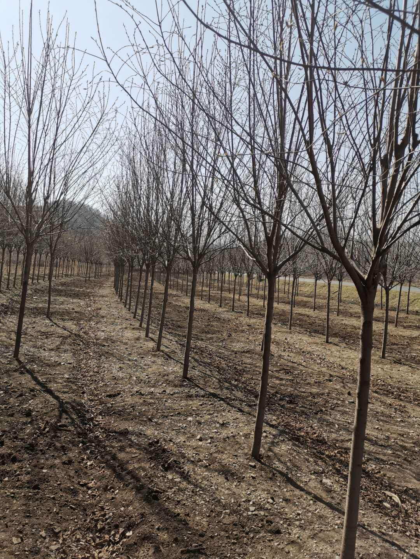 红叶榆叶梅球小苗图片秋季大量批发绿化苗木朝阳