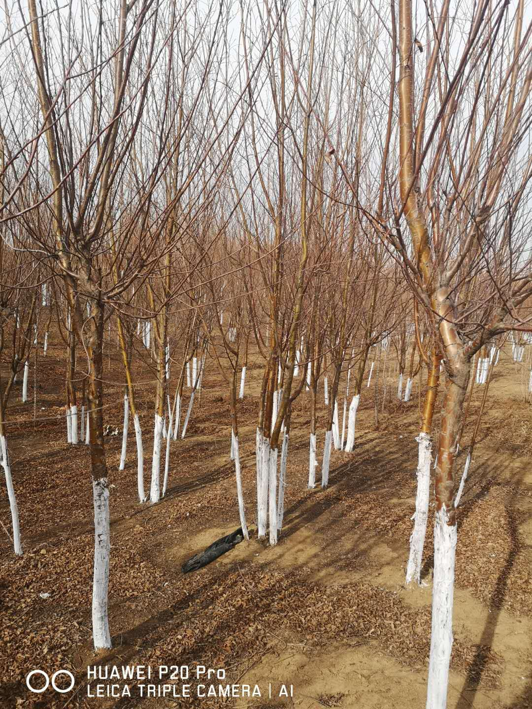 红叶榆叶梅-重瓣榆叶梅各种营养杯绿篱苗山东