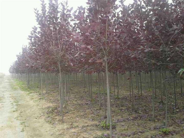 金叶榆球-金叶榆小苗秋季大量批发绿化苗木天水