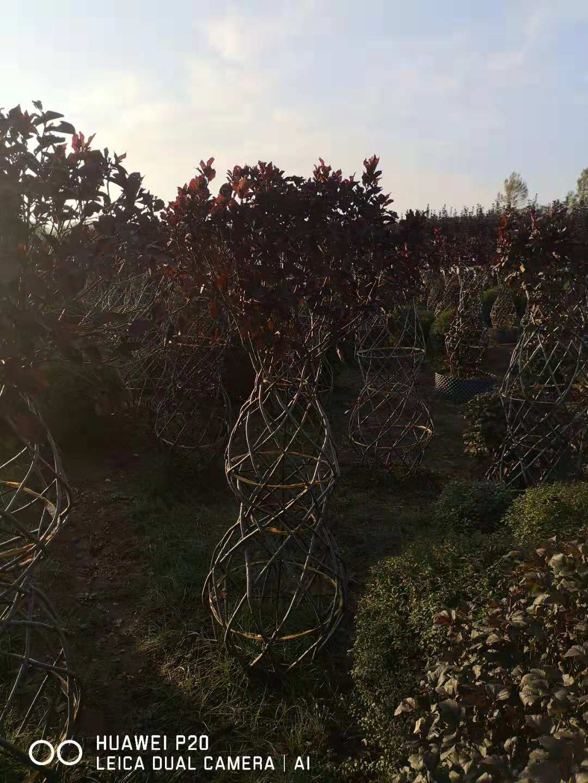 丛生红叶李绿篱苗哪里卖多少钱一棵天水
