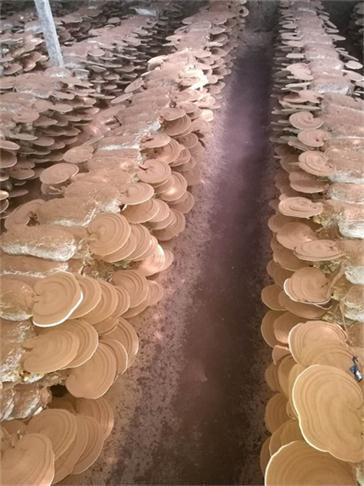 平利破壁灵芝孢子粉生产基地