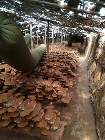 本溪灵芝菌种功效与作用