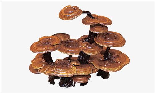 本溪灵芝菌种栽培技术联系方式