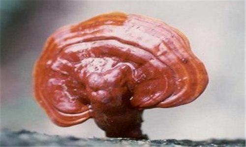本溪灵芝菌包