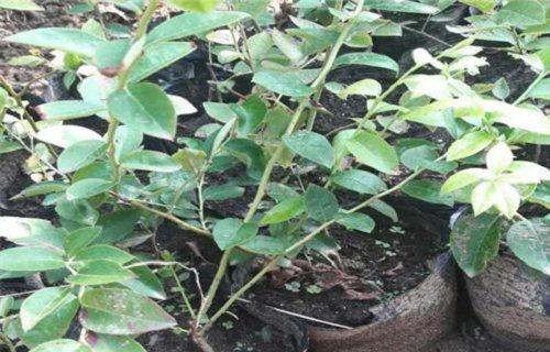 黄山粉蓝蓝莓苗批发价格