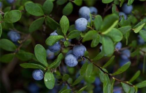 山东北陆蓝莓苗【关键词2