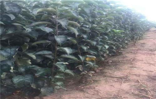 山东柱状苹果树苗繁育