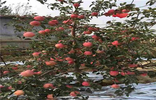 山东华硕苹果树苗推广
