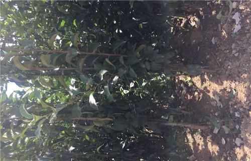 德州瑞雪苹果树苗多少钱