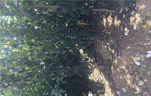 吕梁花牛苹果树苗园林