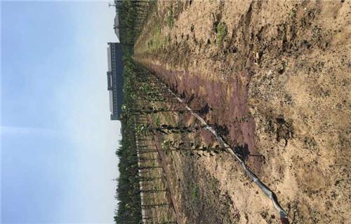阜阳红蛇果苹果树苗大量