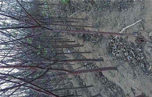 鄂尔多斯新红将军苹果树苗种植基地