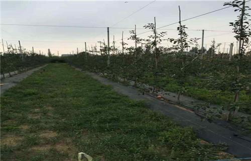 秦皇岛黑苹果树苗种植基地