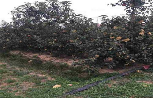 怀化瑞雪苹果树苗繁育