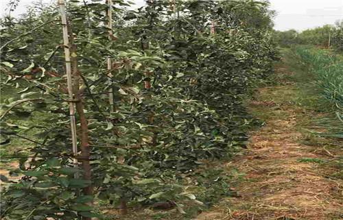 驻马店柱状苹果树苗育苗基地