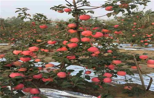 常州瑞雪苹果树苗种植