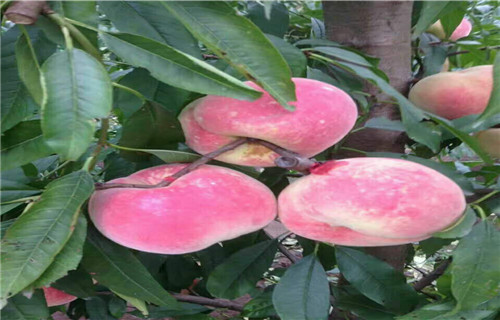 安康黄金蜜桃树苗多少钱