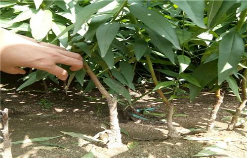 黄石金秋红蜜桃桃树苗批发市场