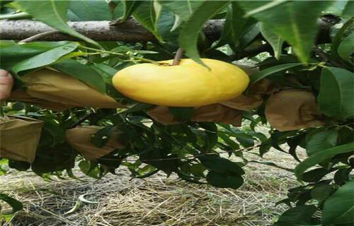 衡阳黄金蜜桃树苗农业