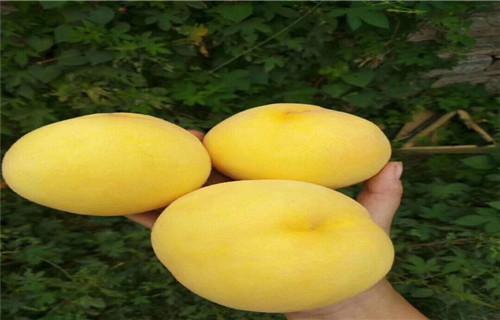 厦门黄金蟠桃桃树苗品种大全